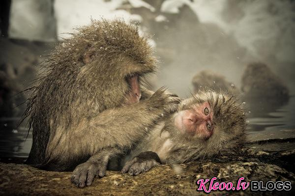 snow_monkeys-04.jpg