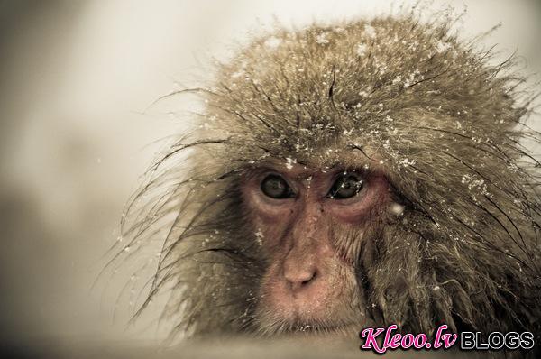 snow_monkeys-07.jpg