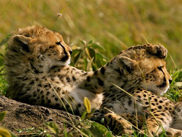 cheetahs-grass-kenya_22651_990x742.jpg