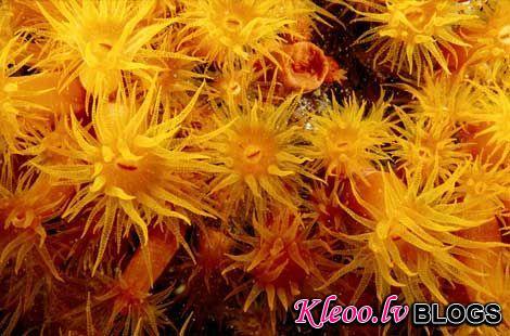 Photo: Orange cup corals, West Indies