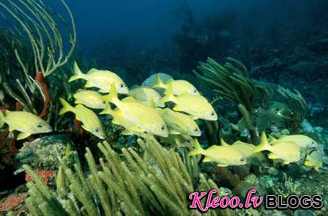 Photo: Striped grunt fish, British Virgin Islands