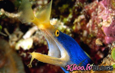 Photo: Blue ribbon eel in coral reef