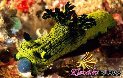 Photo: Nudibranch eating tunicates