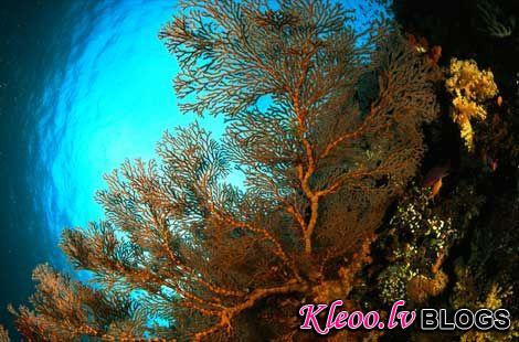 Photo: A type of coral known as a gorgonian sea fan, Micronesia