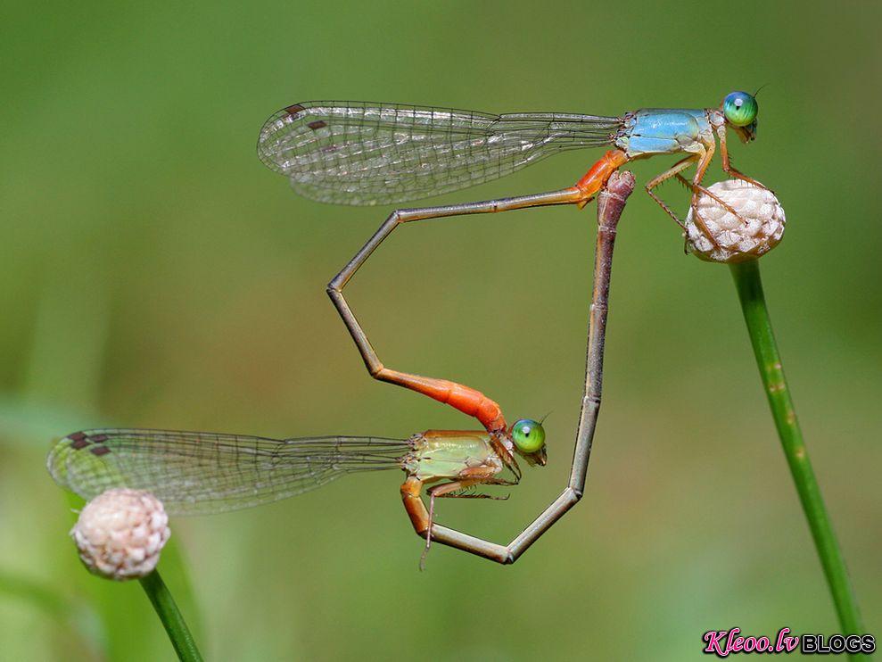 Photo: Damselflies mating