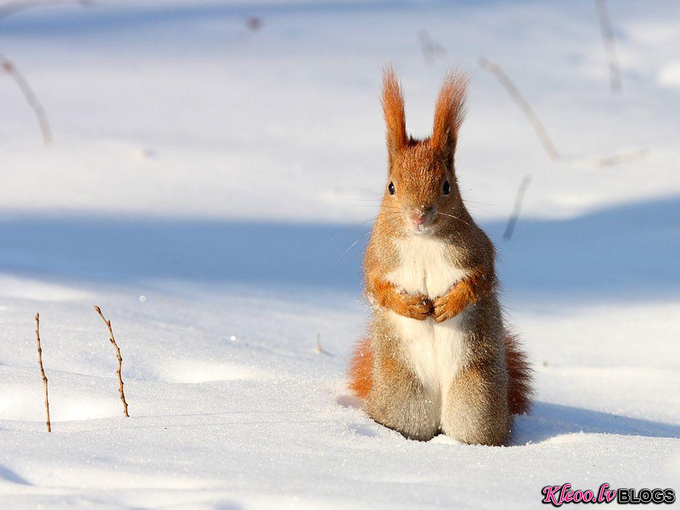 Photo: Red squirrel in snow
