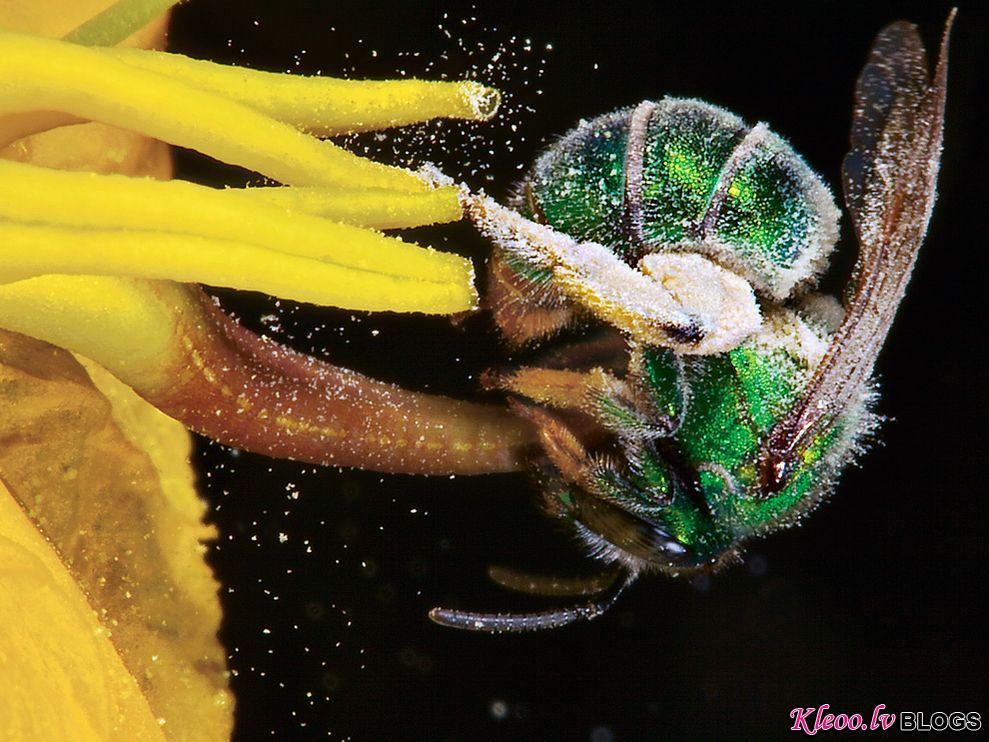 Photo: Sweat bee pollinating a nightshade flower