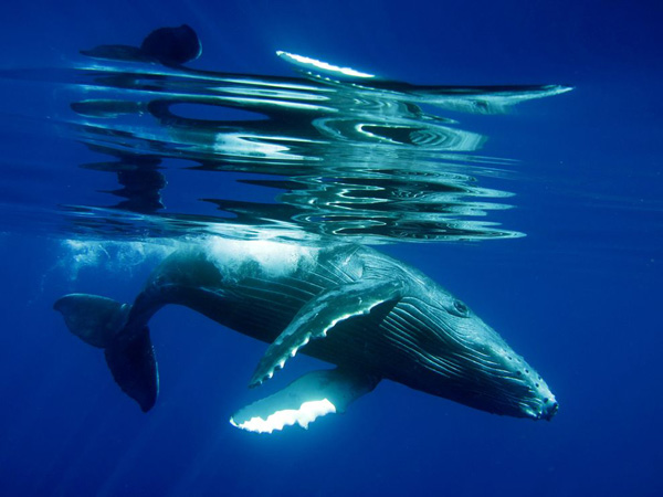 humpback-whale-calf-underwater_22660_990x742.jpg