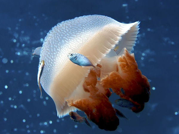 mosaic-jellyfish-australia_22665_990x742.jpg