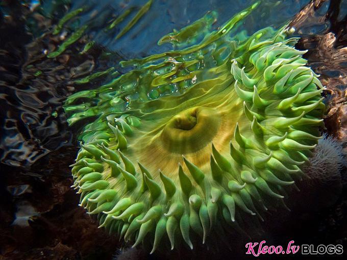 green-anemone-vancouver-island_31782_990x742.jpg