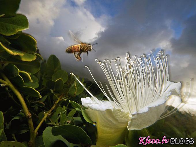 honeybee-flower-kauai_32102_990x742.jpg