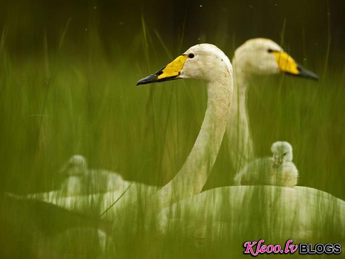 whooper-swan-family_31796_990x742.jpg