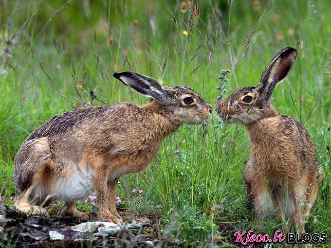 hares-italy_31783_990x742.jpg