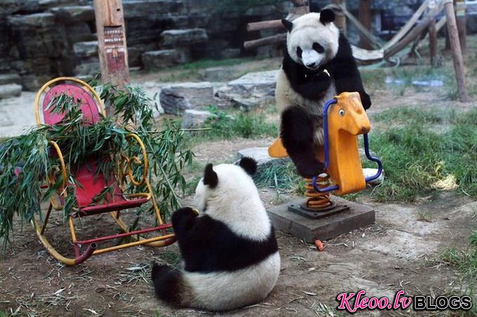 Гигантские панды в Пекинском зоопарке