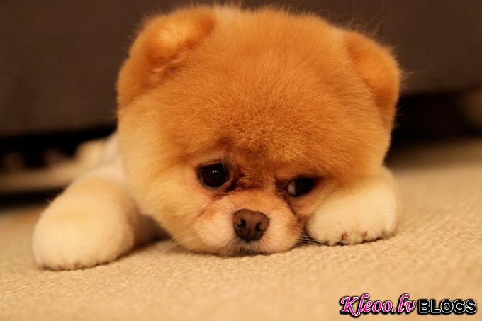 Самый симпатичный щенок Бу