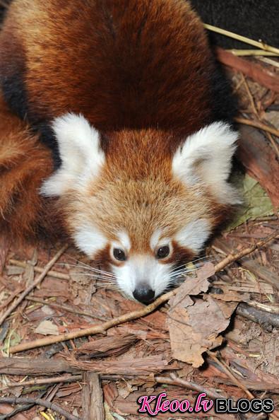 Taronga+Zoo+Welcomes+Baby+Red+Panda+5urG9qQUrThl.jpg