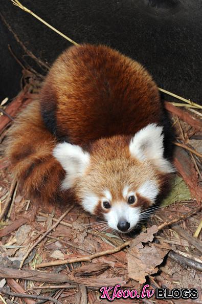 Taronga+Zoo+Welcomes+Baby+Red+Panda+ae6O4lKRV-_l.jpg