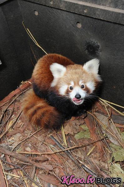 Taronga+Zoo+Welcomes+Baby+Red+Panda+AhP3F9Wjyeul.jpg