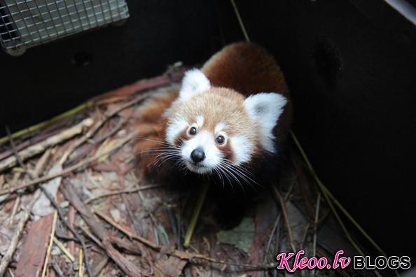 Taronga+Zoo+Welcomes+Baby+Red+Panda+GGTRBR7Fg8ql.jpg