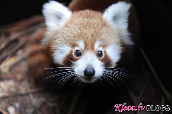 Taronga+Zoo+Welcomes+Baby+Red+Panda+u7f88Rcdw2Fl.jpg