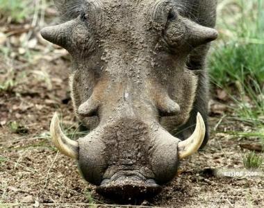 Свиномамонты существуют или Странный образ жизни бородавочника