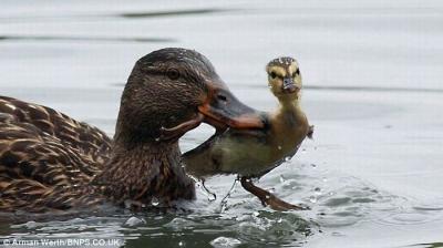 Утка учит утенка плавать