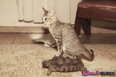 Kaķis un bruņurupucis.