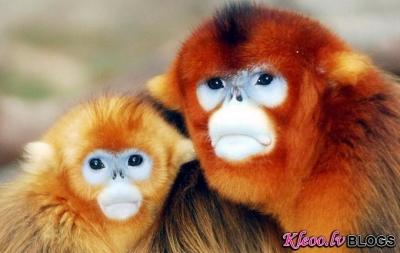 Centālās Āfrikas zeltainie pērtiķi.