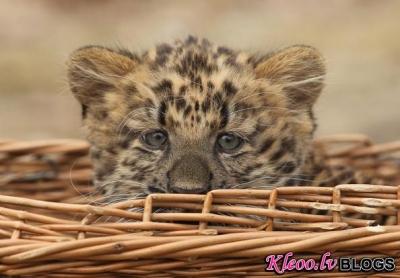 Mazais leopardēns modeļa lomā.