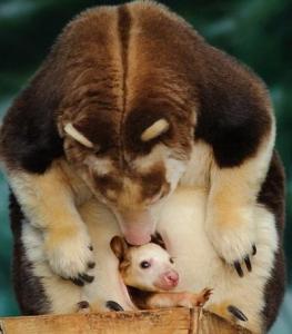 В США на свет появился малыш древесного кенгуру - Нокопо
