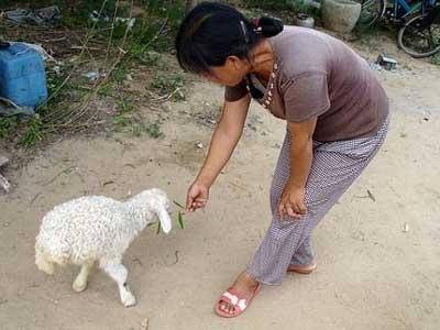 В Китае живет двуногая овечка