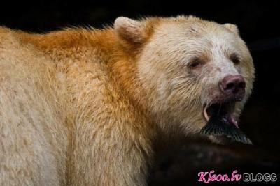 Balts brūnais lācis.