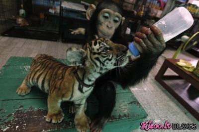 Šimpanze un tīģerēns.