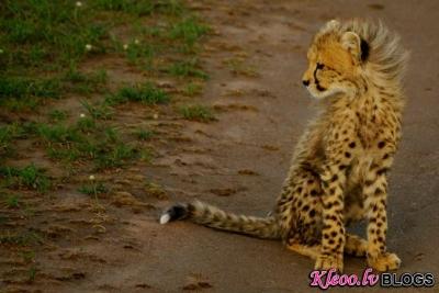 Gepardi brīvā dabā.