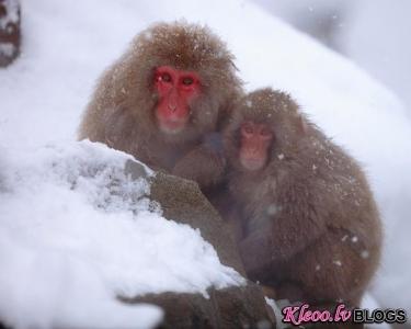Pērtiķi sniegā no Japānas.