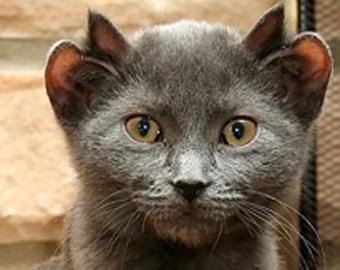 В Великобритании живет кот с двумя парами ушей