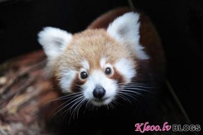Sarkanā panda.