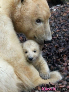 Baltā lāča mazulis.