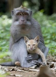 Обезьяна усыновила котенка