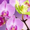 Audzējam orhidejas - skaisti un viegli