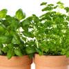 Dārzs uz palodzes: audzējam garšvielas.